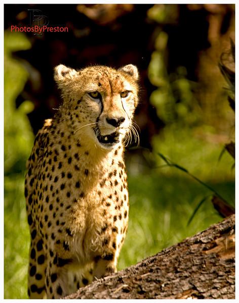 cheetahonlogweb.jpg