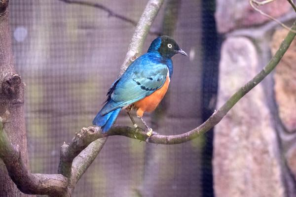 Passeriformes