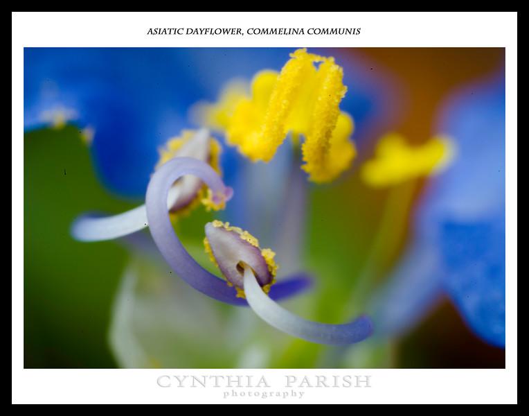 Asiatic Dayflower_Commelina communis_BL8E2717.jpg