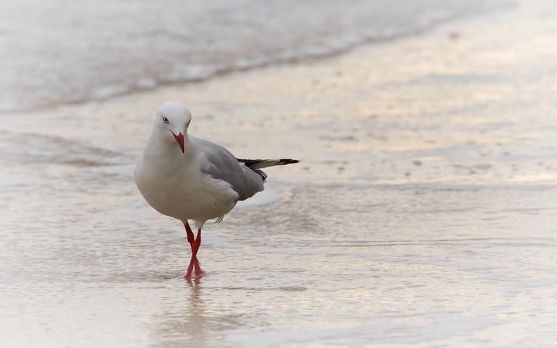 Silver gull, Dennes Point, Tasmania