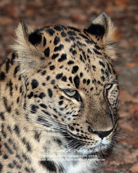 Amur Leopard Erie Zoo.jpg