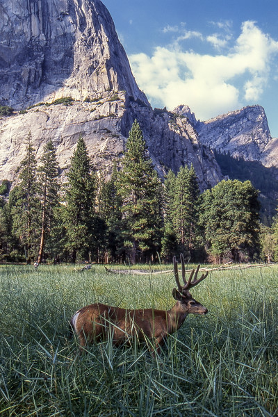 Deer - Yosemite National Park, California, USA - August 1995