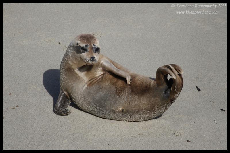 Harbor Seal acrobatics, La Jolla Cove, San Diego County, California, April 2012