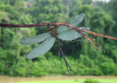 South East Asian Aeshnidae (Darners, Duskhawkers)
