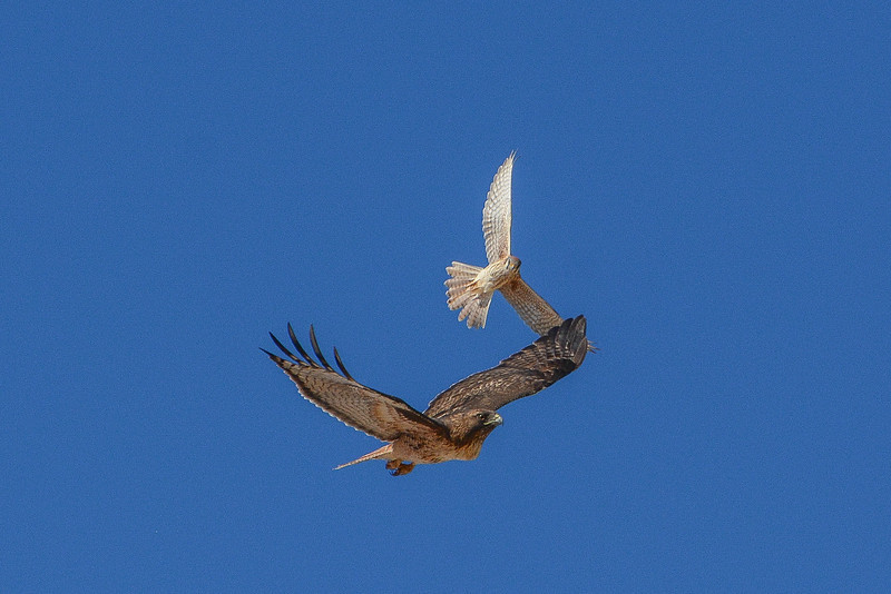 Red-Tailed Hawk and Prairie Falcon