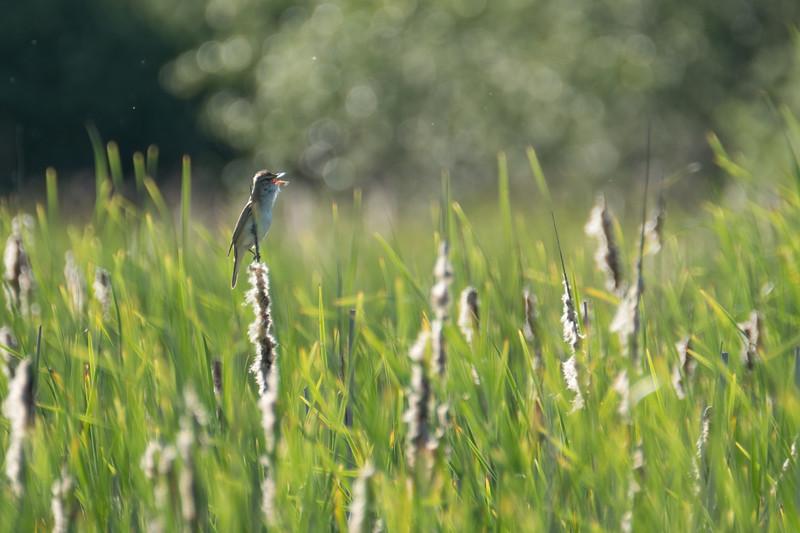 trzciniak   great reed warbler   acrocephalus arundinaceus