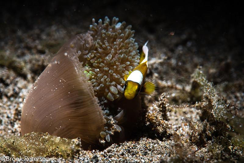 Feeding Anemone and Clownfish