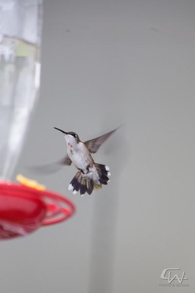 Hummingbird-1936.jpg