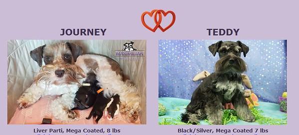 Journey & Teddy Puppies, DOB 9/05/2020