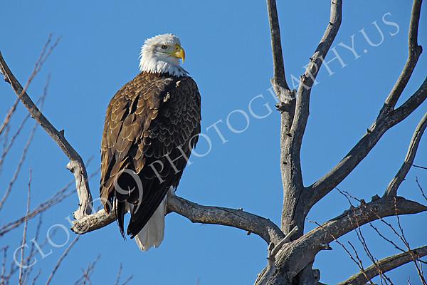 Bald Eagle Wildlife Photography