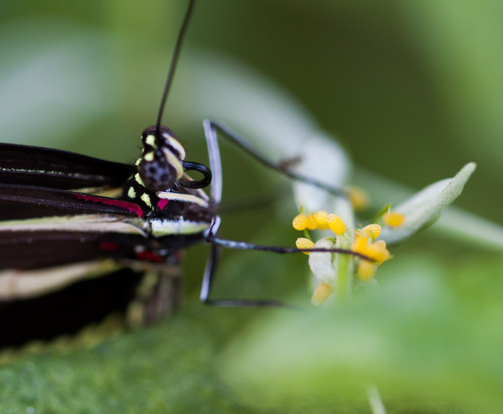 zebra longwing + eggs