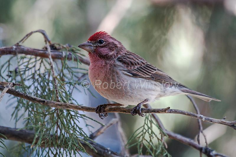 Male, Cassin's Finch, Carpodacus cassinii, or Haemorhous cassinii, La Plata County, Colorado, USA, North America