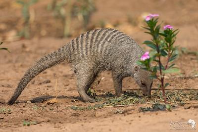 Banded Mongoose at Kasane