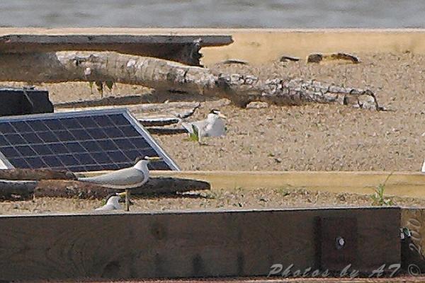 2009-06-17 Riverlands Migratory Bird Sanctuary