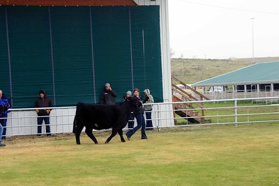 Breeding Heifers Class 3