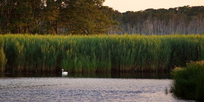Swan at Sunset.jpg
