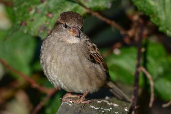 11-21-16 House Sparrow RBS