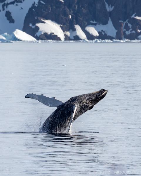 Humpback whale breach, Antarctica