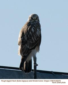 Rough Legged Hawk F80270.jpg
