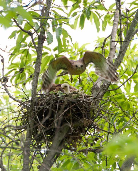 """2012 Red Shouldered Hawk Nest - """"Nest Defense"""" - 4956 - 120428"""