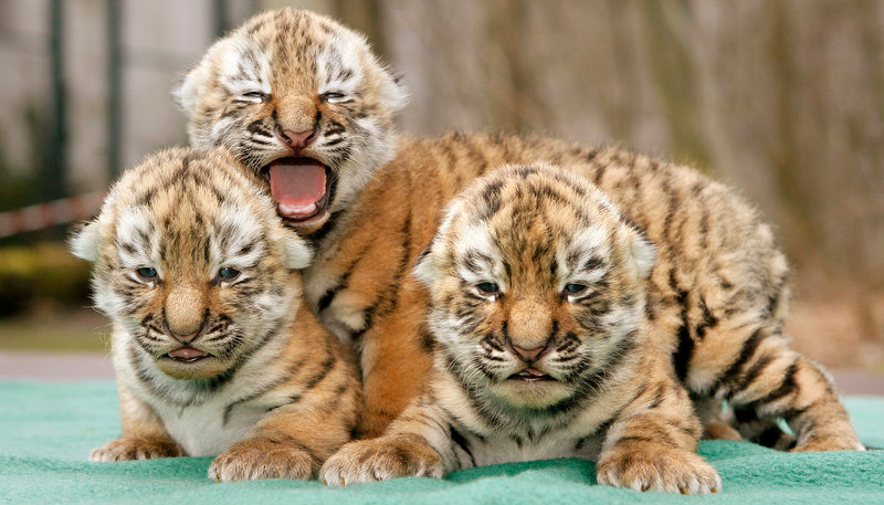 . Three Siberian tiger babies, also known as the Amur tigers, cuddle in the zoo of Leipzig on March 13, 2009. They were born on last March 2, to their mother Bella. The Amur tigers are a rare and protected species.     SEBASTIAN WILLNOW/AFP/Getty Images)