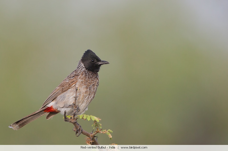 Red-vented Bulbul - India