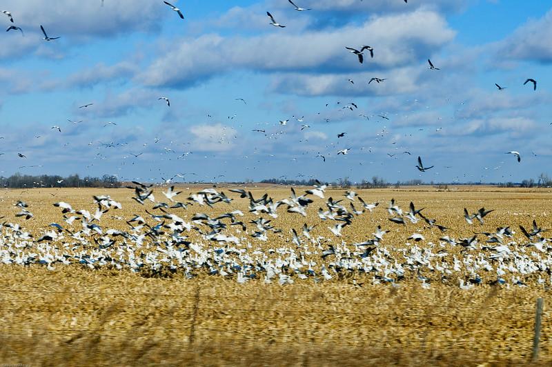 Birds Stampede