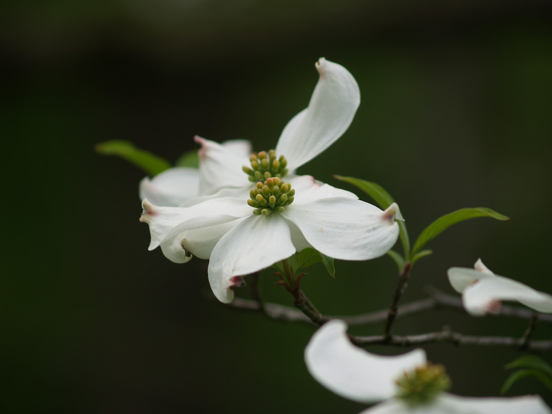 Dogwood at Schoepfle Gardens