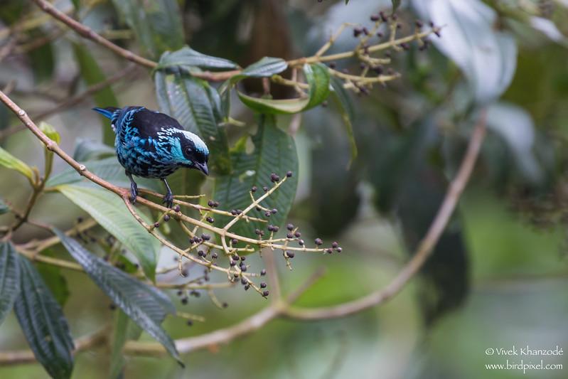 Beryl-Spangled Tanager - Mindo, Ecuador
