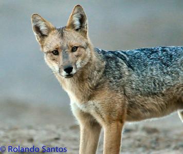 Andean Fox Zorro Culpeo