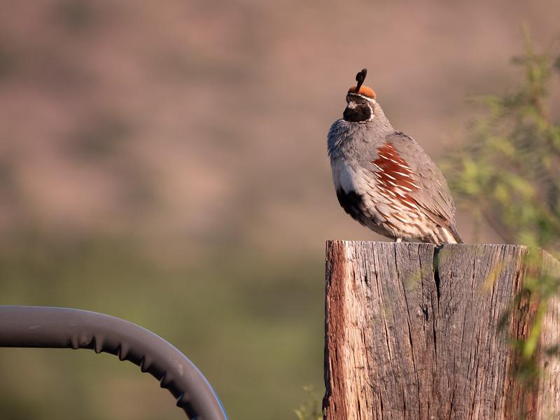 Gambel's Quail male Chiricahua Mountains near Portal southeast Arizona June 6-12 2019-1055190.jpg