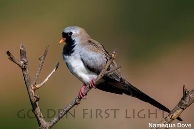 Namaqua Dove, Kenya
