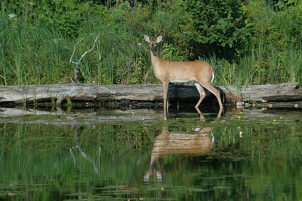 White-tailed Deer - Itasca County, MN