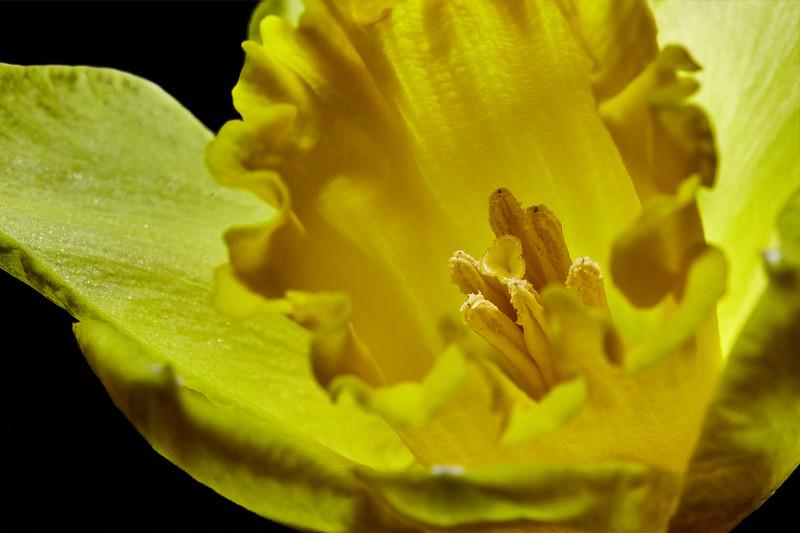 Day 50 - Daffodil-4024.jpg