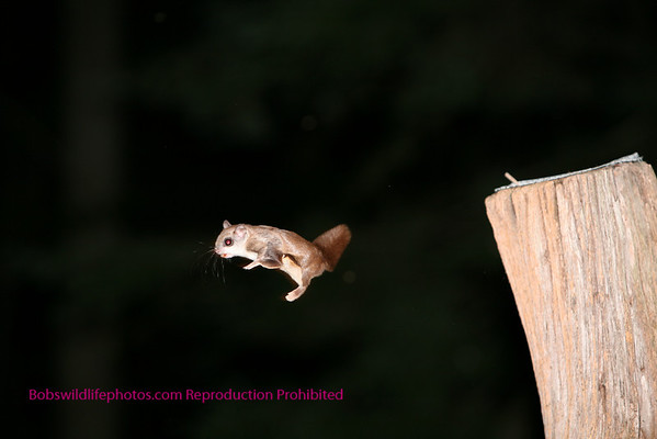 Flying Squirel
