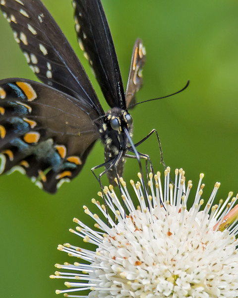 Black Swallowtail Butterfly on Button Bush