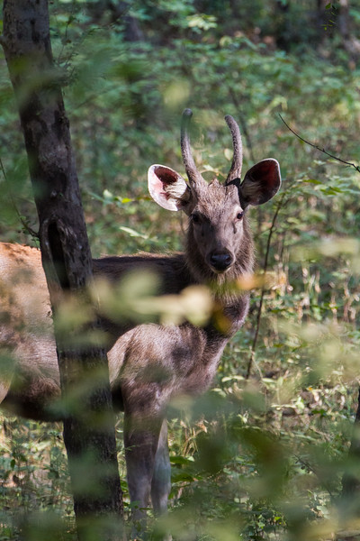 Deer standing in forest - India