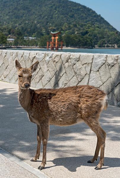 Deer, Miyajima
