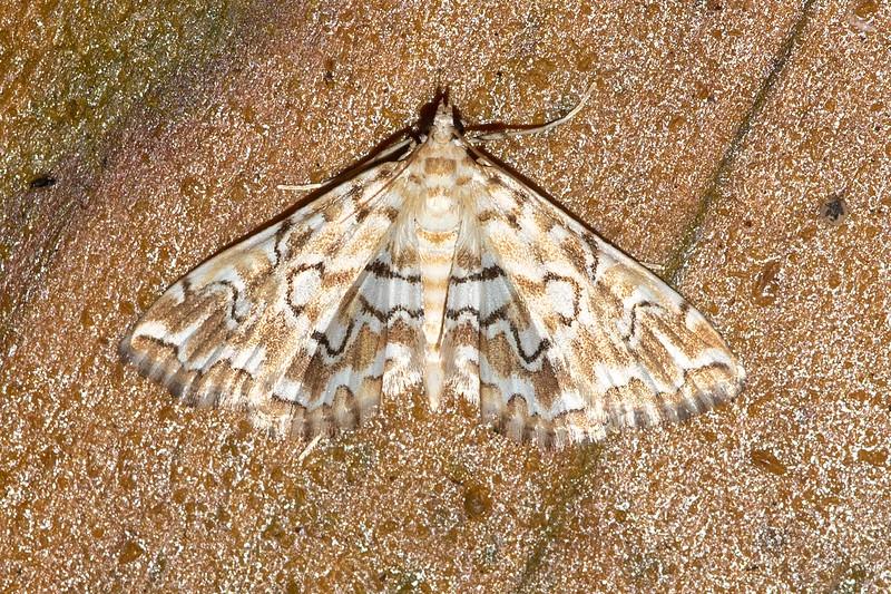 Pyralid-Pondside-(Elophila icciusalis)-Dunning Lake-Itasca County, MN