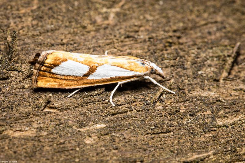 Pearl Grass-Veneer Moth