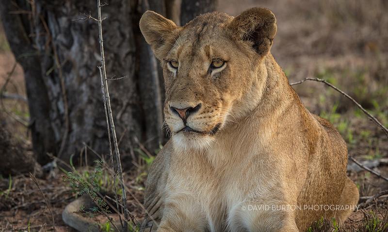 Lion_3003cc2fx-web.jpg
