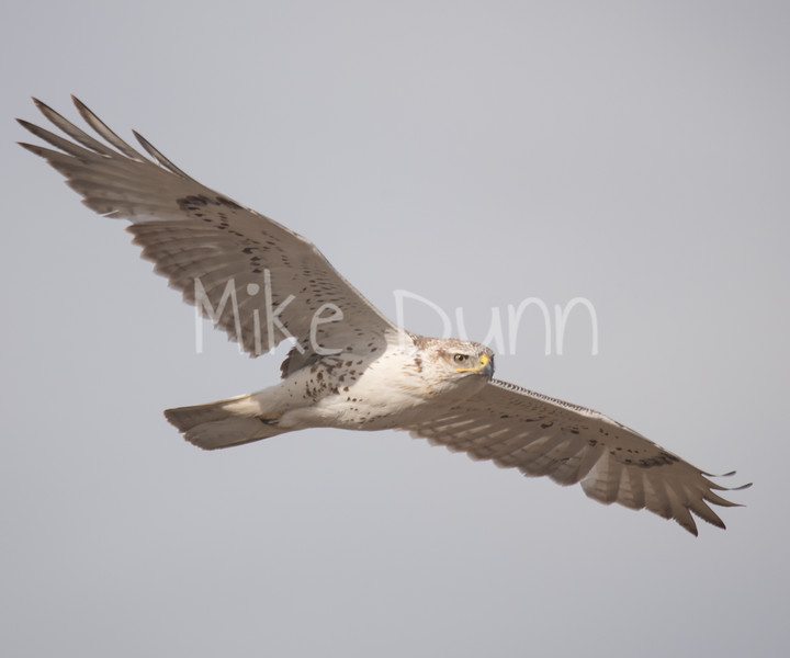 Ferruginous Hawk-82