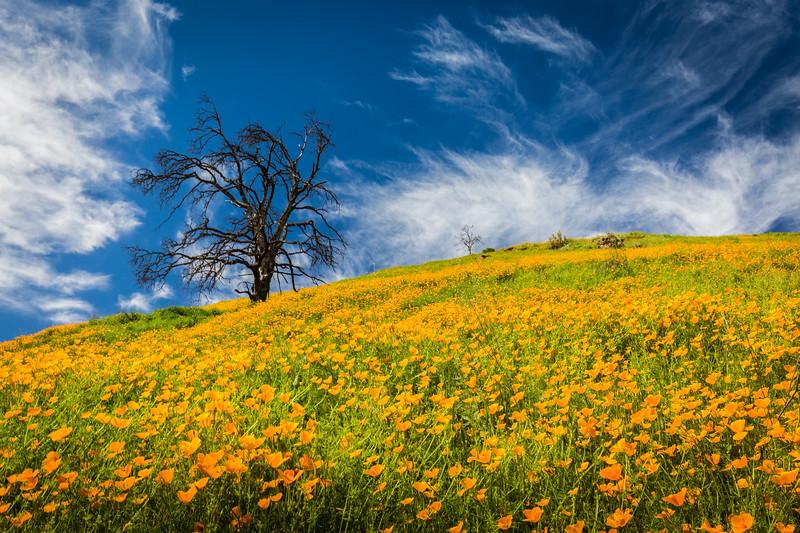 Columa Poppies and Tree