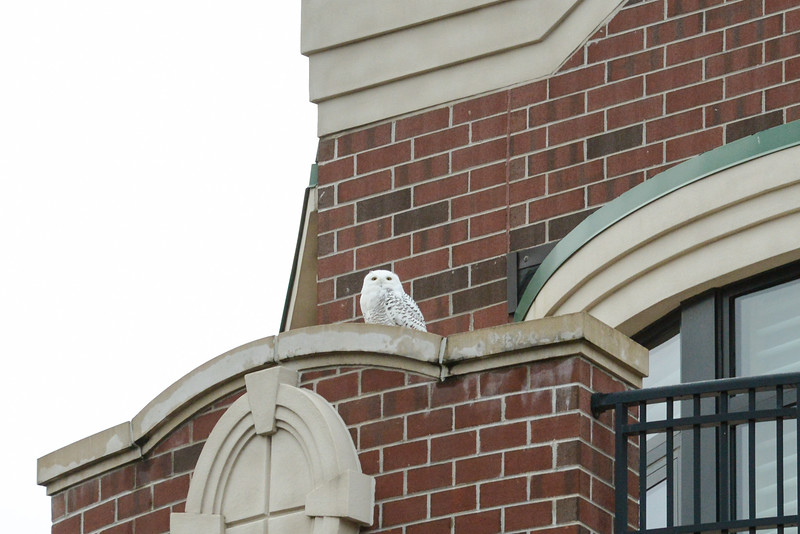 Snow Owl Front St-5095.jpg