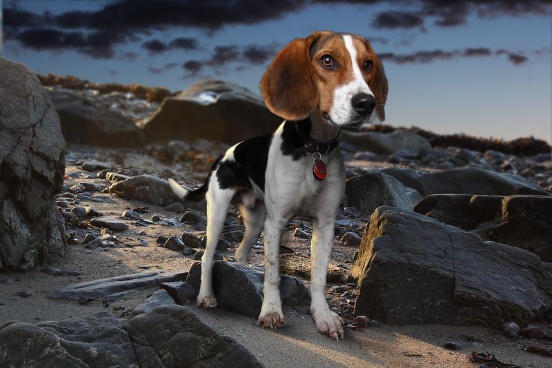 Beagle-1.jpg