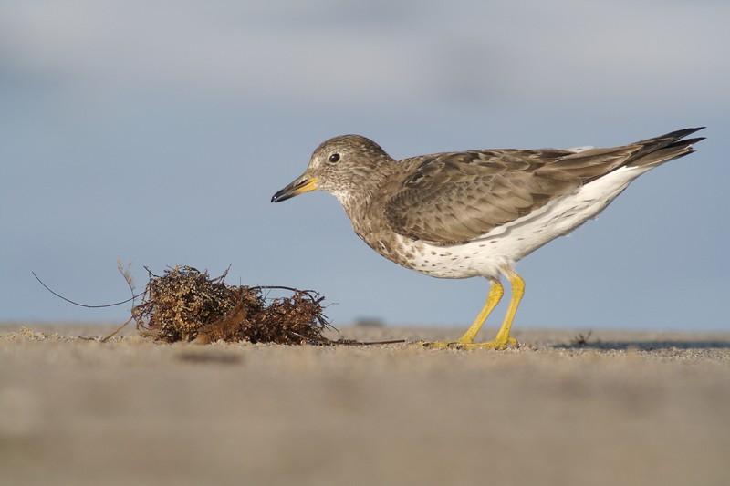 Surfbird [March; near Ventura, California]