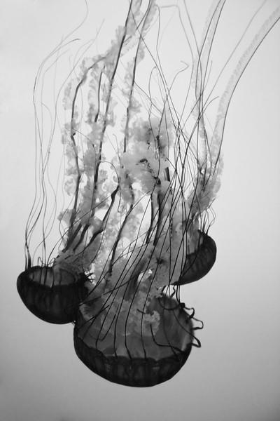 Sea nettle jelly, Chrysaora fuscescens