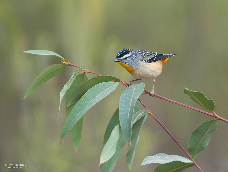 Spotted Pardalote, Capertee Valley, NSW, Sep 2013.jpg