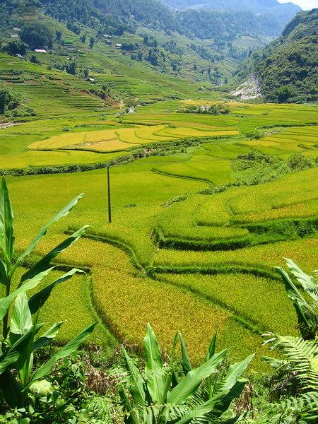 terraced rice paddies in sapa
