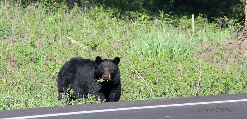 Black Bear & Dandelions.jpg